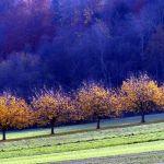 41_Kirschbaeume_Herbst